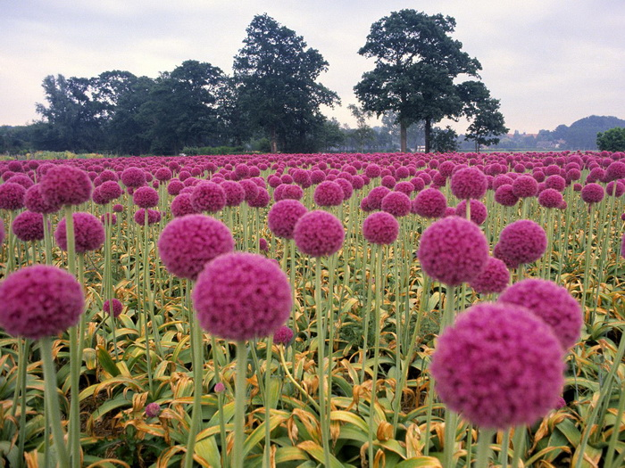 Field of Pink Onions, Wassenaar in the Schieland Region, Holland, The Netherlands